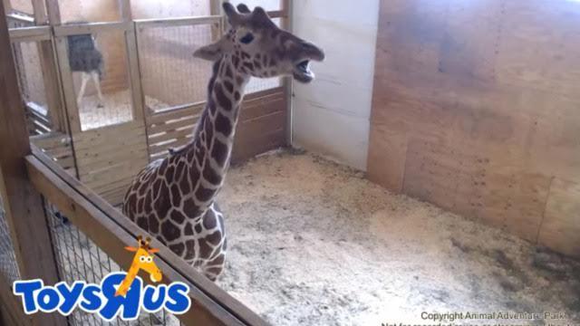 Giraffe Live Stream Keeps Viewers On Edge